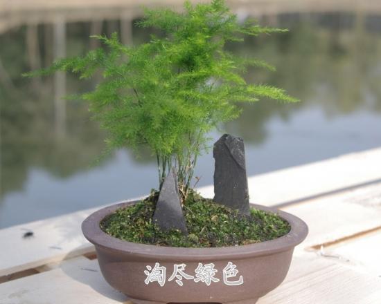 叶子最小的植物:要看清叶子,得请放大镜帮忙