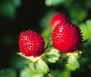 花之蛇蛇莓可以直接吃吗?生蛇浆果会中毒吗?