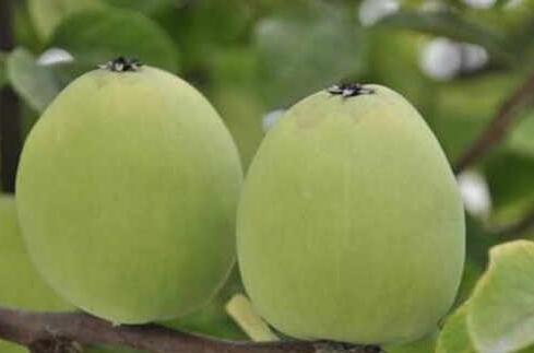 木瓜海棠果能吃吗?木瓜海棠啥时候成熟?